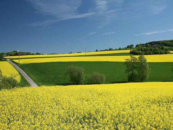 Rapsfeld (Energiepflanzen)